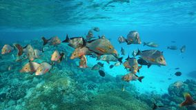 Shoal of fish humpback red snapper Pacific ocean. Shoal of fish humpback red snapper, Lutjanus gibbus, underwater on a reef in the Pacific ocean, Rangiroa Royalty Free Stock Photos