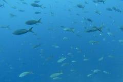 Shoal of fish in the Pacific Ocean, Galapagos. Shoal of fish seen while diving in the Pacific Ocean, Galapagos, Ecuador 2015 Stock Photography