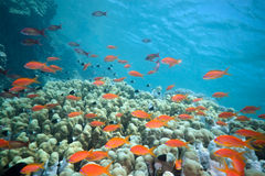 Shoal fish on the reef Royalty Free Stock Photos