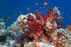 Shoal fish on the reef Stock Photography