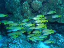 Shoal of fish on the reef Stock Photos