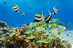 Shoal of fish on the reef Royalty Free Stock Image
