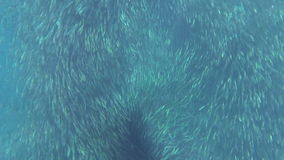 Shoal of fish sardines. Shoal of fish in the blue water of the ocean stock video