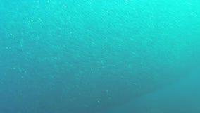 Shoal of fish sardines stock video