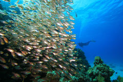 Shoal of Fish and Scuba Diver Royalty Free Stock Photo