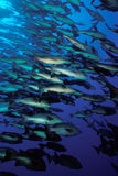 Shoal of fish. Snappers, Red Sea Royalty Free Stock Photo