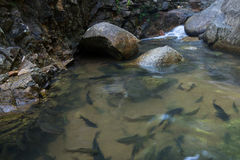 Shoal of fish swimming in the clear water. Shoal of fish swimming in the water near a small waterfall Royalty Free Stock Photo