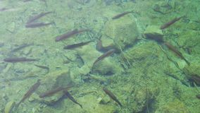 Shoal of fish swimming in shallow water Stock Photo
