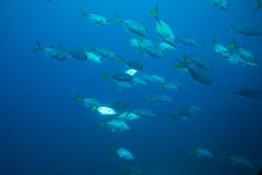 Shoal of fish Royalty Free Stock Photography