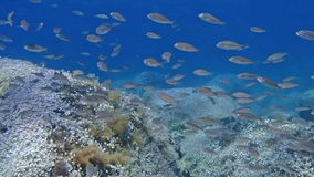 Shoal of fish. Underwater footage of a shoal of Fish stock video