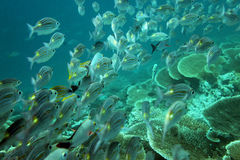 Shoal of fishes Royalty Free Stock Images