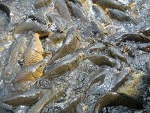 Shoal of fishes Royalty Free Stock Photography