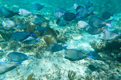 A shoal of fishes in Caribbean Sea. Mexico Stock Images