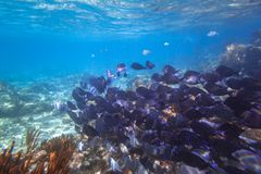 Shoal of blue fishes in the Caribbean Sea. Shoal of fishes in the Caribbean Sea of Mexico Royalty Free Stock Photos