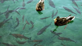 Shoal of fishes and ducks swimming inthe Plitvice lake stock video