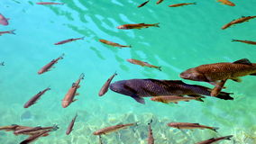 Shoal of fishes swimming in the Plitvice lake. Close up shot of a shoal of fishes swimming in the Plitvice lake stock video footage