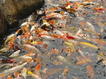 A shoal of fishes stock image
