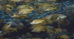 A shoal of French grunt fish.
