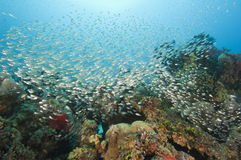 Shoal of glassfish on a coral reef Stock Photography