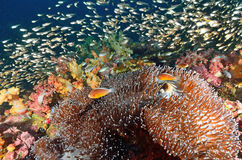 Shoal of Glassfish (Golden Sweepers) and anemonefish in clear bl Royalty Free Stock Photography