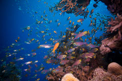 Shoal of Glassfish (Golden Sweepers) in clear blue water of the Red Sea. Egypt Stock Images