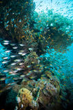 Shoal of Glassfish (Golden Sweepers) in clear blue water of the Red Sea. Egypt Royalty Free Stock Photo
