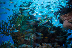 Shoal of Glassfish (Golden Sweepers) in clear blue water of the Red Sea Stock Photo