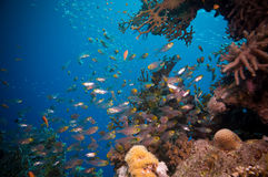 Shoal of Glassfish (Golden Sweepers) in clear blue water of the Red Sea. Egypt Stock Photography