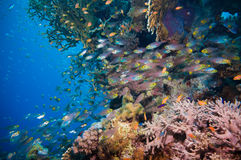 Shoal of Glassfish (Golden Sweepers) in clear blue water of the Red Sea Stock Images
