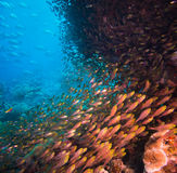 Shoal of Glassfish (Golden Sweepers) in clear blue water Royalty Free Stock Photos
