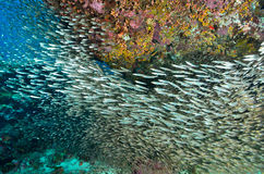 Shoal of Glassfish (Sweeper Fish), Similan island Stock Images