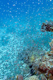 Shoal of glassfishes - Red Sea Sweepers, underwater. Shoal of glassfishes - Red Sea Sweepers- in tropical sea Stock Photo