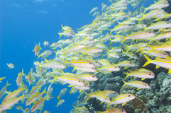 Shoal of goatfish on a tropical reef Royalty Free Stock Image