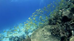 Shoal of goatfish on a tropical reef stock video