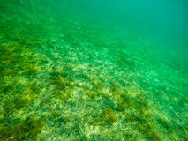 Shoal and green seaweeds in Alghero sea Stock Photography