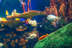 Shoal group of many red yellow tropical fishes in blue water with coral reef, colorful underwater world. Copyspace for text, background wallpaper Royalty Free Stock Images