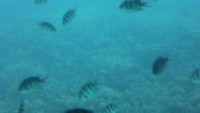 Shoal group of tiny small tropical fish under water in aquarium. Sea ocean marine wildlife animals swimming in blue water. Underwa