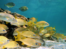 Shoal of grunt fish Royalty Free Stock Photography