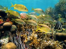 Shoal of grunt fish in a reef Royalty Free Stock Images