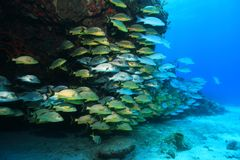 Shoal of grunt fish underwater in the coral reef Stock Image