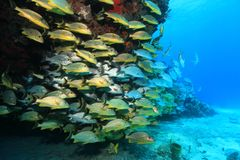 Shoal of grunt fish underwater in the coral reef Royalty Free Stock Images