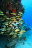 Shoal of grunt fish underwater in the coral reef Royalty Free Stock Photos