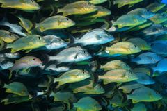 Shoal of grunt fish underwater in the coral reef Royalty Free Stock Photography