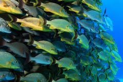 Shoal of grunt fish Royalty Free Stock Images