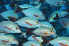Shoal of Humpback red snappers Stock Photography