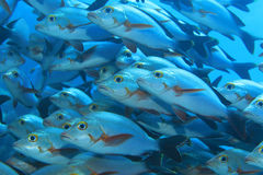 Shoal of Humpback red snappers Royalty Free Stock Photography