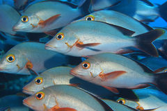 Shoal of Humpback red snappers Stock Photos