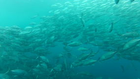 Shoal of jack fish in tulemben in Bali, Indonesia stock video footage