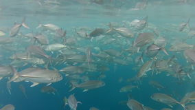 Shoal of jack fish in tulemben in Bali, Indonesia stock video