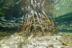 Shoal of juvenile fish swim near mangrove roots Royalty Free Stock Photo